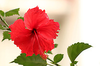 Stem of beautiful red Hibiscus flower with blurred background