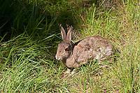 Europäisches Wildkaninchen, Wild-Kaninchen, Kaninchen, Oryctolagus cuniculus, Old World rabbit
