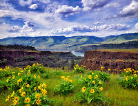 Columbia River Gorge with Balsam Root. Oregon.