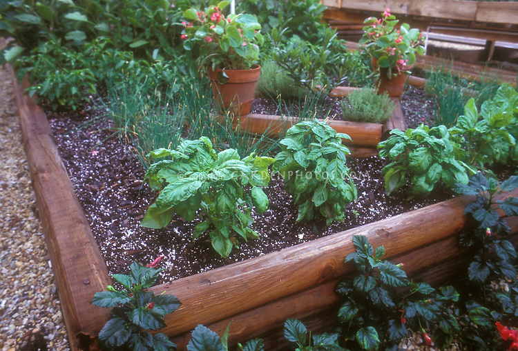 Raised wooden bed with herbs Basil, vegetables, flower pots of begonias