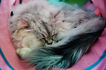 """January 15, 2015, Tokyo, Japan : A cat sleeps on a cushion at the """"Temari No Uchi"""" Cat Cafe in Tokyo, Japan. Temari No Uchi, a Neko Cafe (cat cafe) based in Kichijoji where visitors can watch and interact with 19 cats whilst eating or having a coffee break. The store opened in April 2013 and allows to customers to play with cats and to escape from the stresses of the city life. The entrance fee is 1200 JPY (9.75 USD) on weekdays and 1600 JPY (12.99 USD) on weekend with discounts after 7pm. Drinks and food are charged separately. According to the shop staff most visitors are Japanese women but also men and children visit this cafe. The fist cat cafe in the world opened in Taipei, Taiwan in 1998, and the fist Japanese store was opened in Osaka in 2004. (Photo by Rodrigo Reyes Marin/AFLO)"""