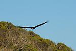 Turkey vulture in flight on the Sonoma Coast