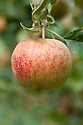 Apple 'Ross Nonpareil', early October. An Irish apple dating back to the early 1800s.