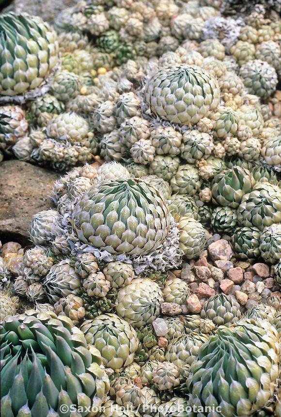 Orostachys spinosa hardy succulent in Kelaidis rock garden