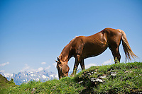 Young horse grazes on summer alpine grass along trail in Austiran Alps, Near Maria Alm, Austria
