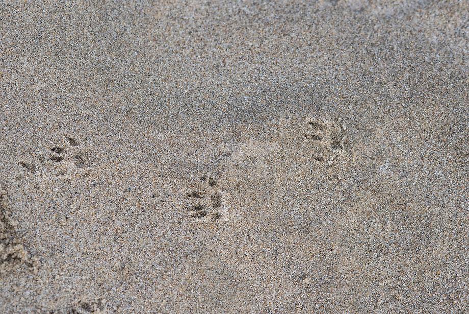Bruine rat (Rattus norvegicus), voetsporen