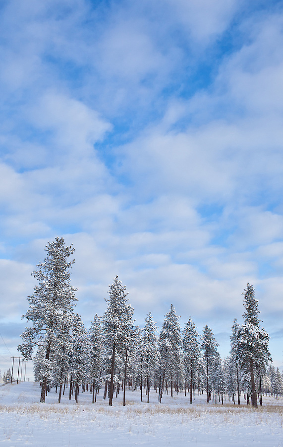 Tall Tamarack trees grow along a snow covered hillside in North Idaho.