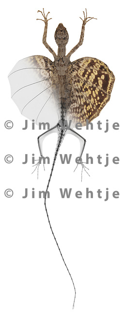 Blended x-ray image of a flying lizard (on white) by Jim Wehtje, specialist in x-ray art and design images.