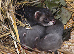 Polecat, Mustela putorius, female, mother with young, pups captive.United Kingdom....