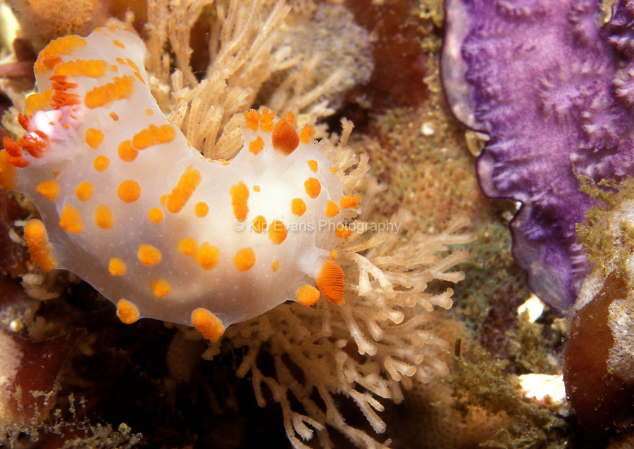 "Catalina Triopha,  Triopha catalinae also known as the ""Clown Nudibranch"""