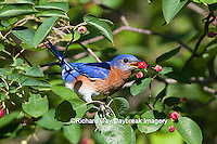 01377-17711 Eastern Bluebird (Sialia sialis) male eating berry in Serviceberry (Amelanchier canadensis) bush Marion Co. IL