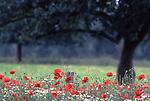 DEU, Deutschland, Nordrhein Westfalen, Niederrhein, bei Xanten, Naturschutzgebiet Bislicher Insel, Blumenwiese, Klatschmohn, Papaver rhoeas, Kernstueck dieses in der Rheinaue gelegenen Naturschutzgebietes sind der ueber fuenf Kilometer lange Xantener Altrhein mit seinem reichen Spektrum an Wasser- und Uferpflanzengesellschaften sowie die Weichholzauenwaelder bzw. deren Entwicklungsstadien. Im Uferbereich sind noch Reste von Weiden- und Eschen-Ulmen-Auwald vorhanden. Der Xantener Altrhein ist einer der floristisch-vegetationskundlich bedeutendsten Altarme des Niederrheins...[Fuer die Nutzung gelten die jeweils gueltigen Allgemeinen Liefer-und Geschaeftsbedingungen. Nutzung nur gegen Verwendungsmeldung und Nachweis. Download der AGB unter http://www.image-box.com oder werden auf Anfrage zugesendet. Freigabe ist vorher erforderlich. Jede Nutzung des Fotos ist honorarpflichtig gemaess derzeit gueltiger MFM Liste - Kontakt, Uwe Schmid-Fotografie, Duisburg, Tel. (+49).2065.677997, fotofinder@image-box.com, www.image-box.com]