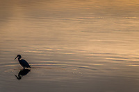 Golden rippling water with an egret, and its reflection, in silhouette along San Francisco Bay.