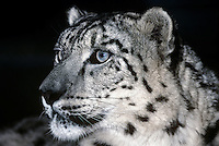654409048 portrait of an adult snow leopard panthera uncia - individual is a wildlife rescue - species is native to the high steppes of central asia