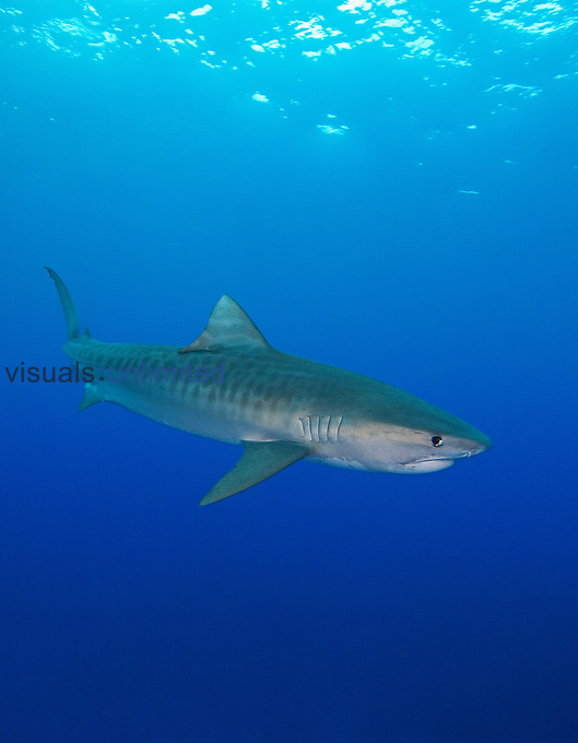 Tiger Shark, Galeocerdo cuvier, West End, Grand Bahama, Bahamas, Atlantic Ocean.