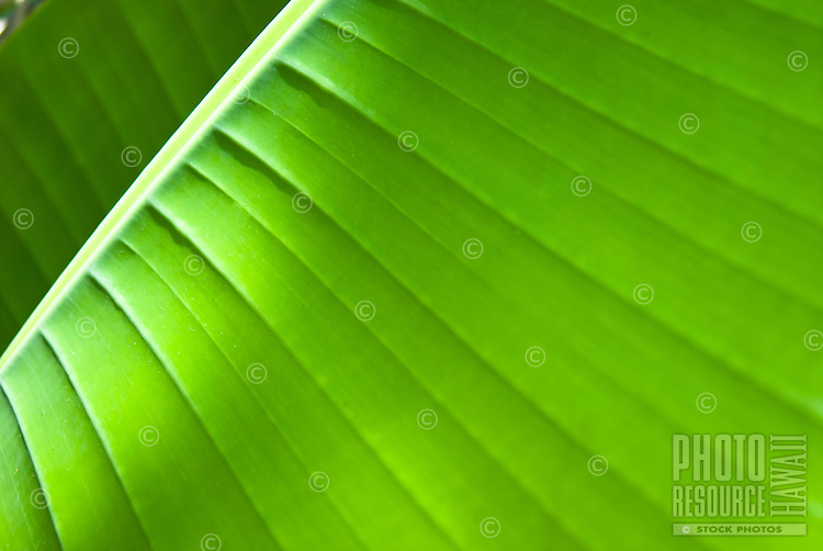 A close up of a palm leaf, in Waimea Falls, on the North Shore of Oahu.