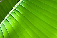 A close up of a palm leaf, in Waimea Falls, on the North Shore of Oahu.
