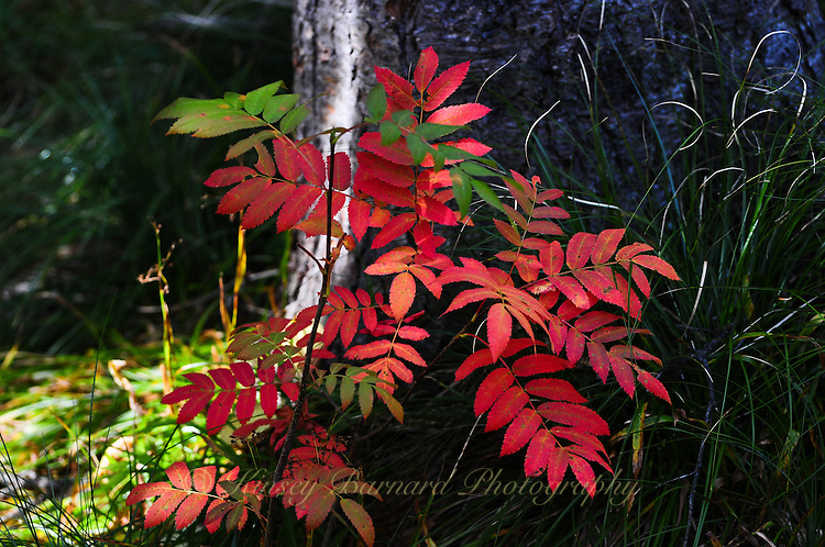 Mountain ash in fall color. Flathead National Forest, Montana