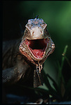 Iguana delicatissima, frequent sur la cote de la dominique
