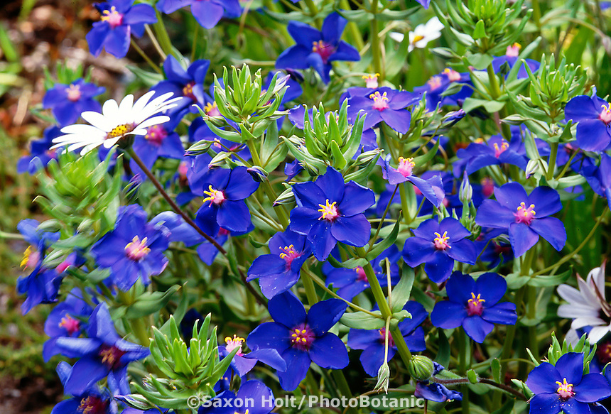 Anagallis monelii (Blue Pimpernel) flower
