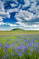Camas and prairie with storm clouds. Zumwalt Prairie Preserve. Oregon.