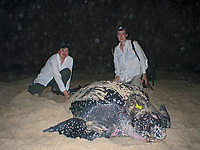 researchers with nesting leatherback sea turtle, Dermochelys coriacea, Dominica, Caribbean, Atlantic