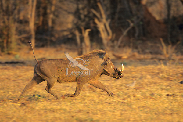 Warthog (Phacochoerus aethiopicus) male.  Matusadona National Park, Zimbabwe.  Common animal on the African savannas.
