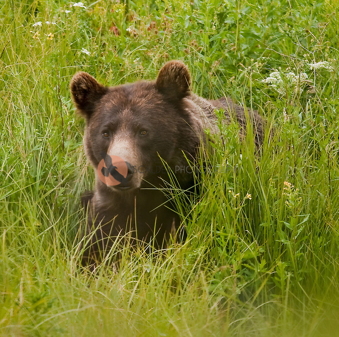 Young Grizzly Bear lying in the grass in Yellowstone National Park, Montana