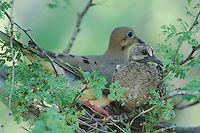 Mourning Dove, Zenaida macroura, adult in nest with young, Willacy County, Rio Grande Valley, Texas, USA, June 2006