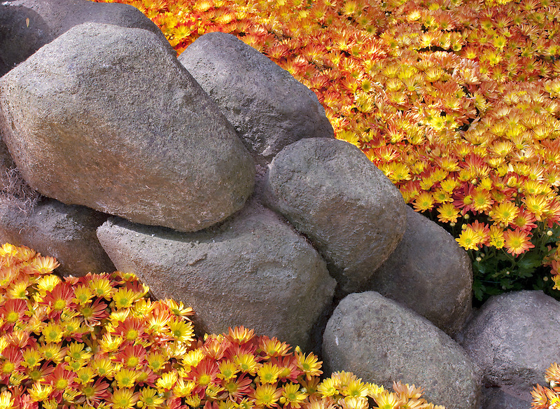 Chrysanthemums in rock garden.