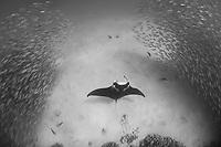 reef manta ray, Manta alfredi, feeds inside school of akule or bigeye scad, Selar crumenopthalmus, Keauhou Bay, Kona, Hawaii ( Big Island ), Hawaiian Islands ( Central Pacific Ocean )