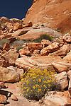 Desert marigold among sandstone formations