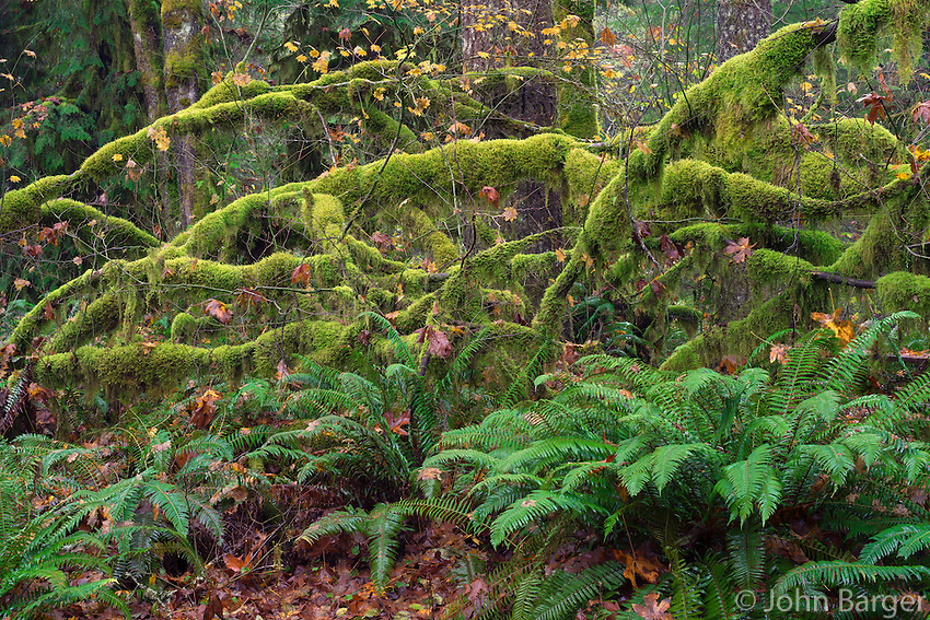 ORCAN_D223 - USA, Oregon, Cascade Range, Wildwood Recreation Site, Late autumn forest with conifers, sword fern and lush moss clinging to vine maple.