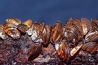 zebra mussels, Dreissena polymorpha ( freshwater, invade and starve local populations, eastern Europe / western Asia ), Lake St. Clair, Michigan, USA