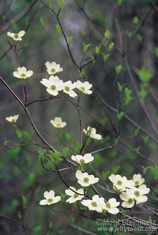 Eastern Flowering Dogwood (Cornus florida). A small, lovely, flowering tree native to eastern North America. Its showy flowers appear in early spring, before leaf-out in hardwood forests and edge habitats. Dogwood is the state flower of North Carolina and Virginia. Southeastern Ohio, USA.