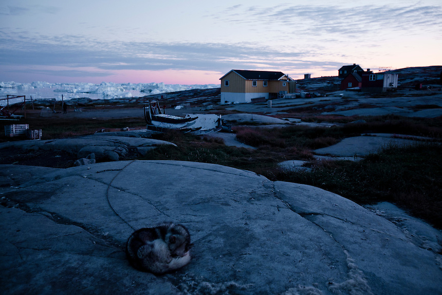 A sled dog sleeps on a rock at midnight in the small settlement of Rodebay, West Greenland, August 2011. Receding sea ice in the winter is limiting the distances that traditional fishermen can travel to reach their catch. Photo: Ed GIles.