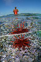 red pencil urchin, Heterocentrotus mammillatus, Jeremey Pololi, intertidal researcher, looking for specimens, Midway atoll, Papahanaumokuakea Marine National Monument, Northwestern Hawaiian Islands, Hawaii, USA, Pacific Ocean