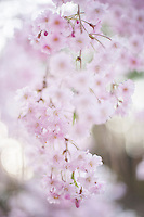 A branch of pale pink weeping sakura cherry blossom hangs down in a cherry grove, Nagano, Japan.