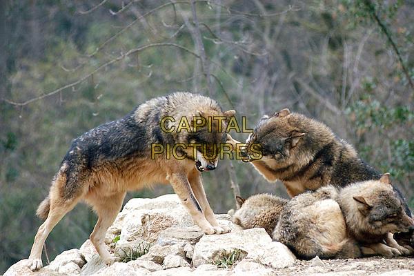 Wolf .Canis lupus. wolf wolves animal animals fur.CAP/CAV.©Luca Cavallari/Capital Pictures.