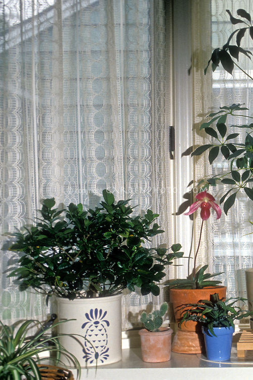 Indoor Houseplants in window in house, Paphiopedilum orchid, gardenia, cactus, curtains
