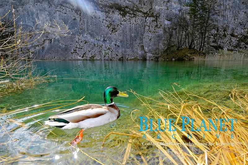 Male Mallard, Anas platyrhynchos, Plitvice Jezera Lakes National Park, Croatia