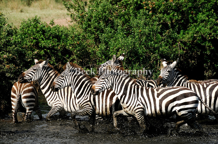 Zebras crossing the water in Africa