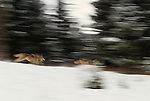 Gray wolves running, Glacier National Park, Montana