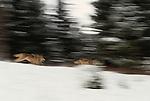Gray wolves running, Glacier National Park, Montana