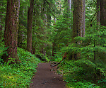 Olympic National Park, Washington<br /> Trail leads through old growth trees in the temperate rainforest of the Sol Duc Valley