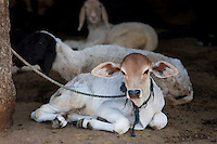 Tethered calf with goats in home farm in Narlai village in Rajasthan, Northern India