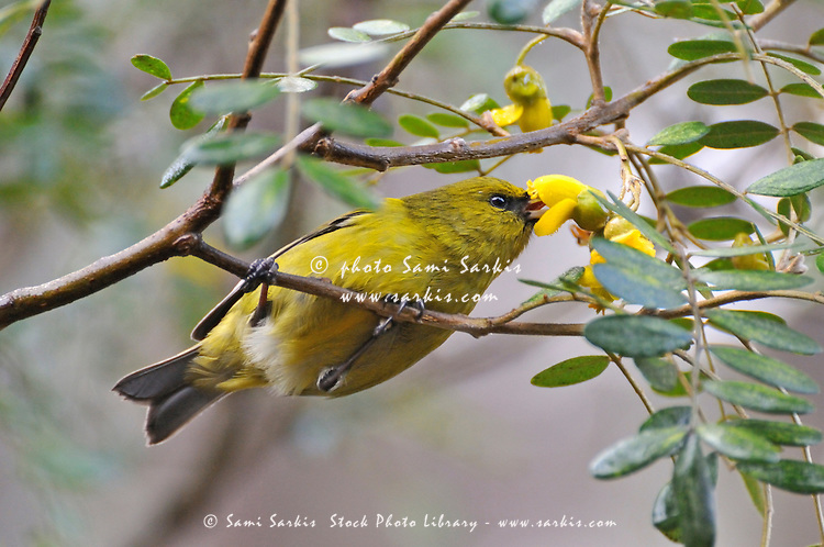 One yellow Hawaiian honeycreeper extracting nectar from tree flowers in Maui, Hawaii Islands, Hawaii, USA.
