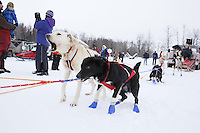 Abby Brooks dog jumps in anticipation to run just prior to the 2013 Junior Iditarod start on Knik Lake.  Knik Alaska..Photo by Jeff Schultz/IditarodPhotos.com   Reproduction prohibited without written permission
