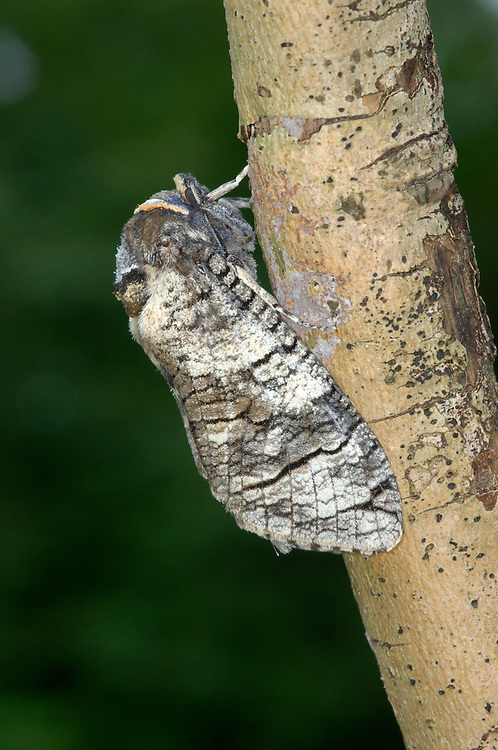 Goat Moth Cossus cossus Length 5cm. A large and distinctive moth. Adult has white, silvery grey and buff forewings, the overall pattern resembling tree bark. Flies June-July. Larva feeds in the wood of deciduous trees, notably willows and poplars; it is sometimes found wandering in search of a pupation site. Local and mainly in southern England.