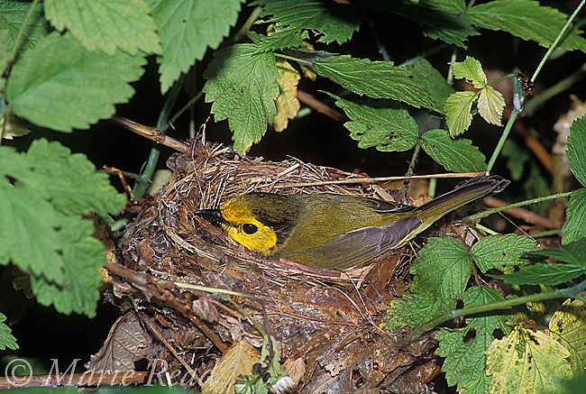 Hooded Warbler (Wilsonia citrina) female incubating on its nest, New York, USA<br /> Slide # B161-1007